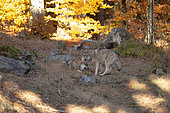 Wolf (Canis lupus) in an autumn atmosphere, Bayerisher wald, Bavaria, Germany