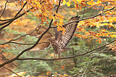 Honey Buzzard (Pernis apivorus) open wings on anbranch in autumn, Bayerisher Wald, Bavaria, Germany