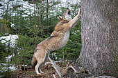Wolf (Canis lupus) stretching against a tree trunk in the forest, Bayerisher Wald, Bavaria, Germany
