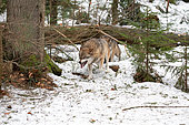 Wolf (Canis lupus) in the forest, threat mimicry, Bayerisher Wald, Bavaria, Germany