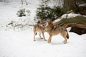 Wolf (Canis lupus) pair in the forest, Bayerisher Wald, Bavaria, Germany