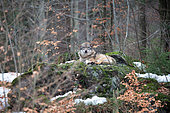 Wolf (Canis lupus) lying on a rock in the forest, Bayerisher Wald, Bavaria, Germany