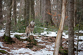 Wolf (Canis lupus) howling in the forest, Bayerisher Wald, Bavaria, Germany