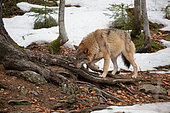 Wolf (Canis lupus) in the forest, Bayerisher Wald, Bavaria, Germany