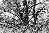 snow-covered trees, Petite Camargue Alsacienne, Alsace, France