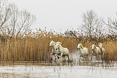 Horses galloping in a marsh in the Camargue, France