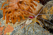 Red-baked cleaner shrimp (lysmata grabhami) near Telmatactis anemone. Marine invertebrates of the Canary Islands, Tenerife.