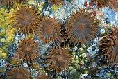Sargassum anemone (Anemonia melanaster). Marine invertebrates of the Canary Islands, Tenerife.