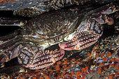 Talon crab (Plagusia depressa). Marine invertebrates of the Canary Islands, Tenerife.