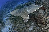 Canary fish. Duckbill ray (Pteromylaeus bovinus) Tenerife, Canary Islands.