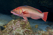 Red barred hogfish (Bodianus scrofa), male. This species has a marked sexual dimorphism. The iron. Fish of the Canary Islands.