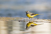 Grey Wagtail (Motacilla cinerea) walking on the edge of a waterfall, in a river in Vaucluse, France