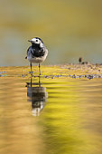 Pied Wagtail (Motacilla alba) in a river in Vaucluse, France