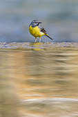 Grey Wagtail (Motacilla cinerea) on the edge of a waterfall, in a river in Vaucluse, France