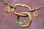 Blue tit (Cyanistes caeruleus) perched on an old rusty chain, England