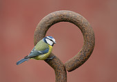 Blue tit (Cyanistes caeruleus) perched on a steel ring, England