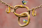 Blue tit (Cyanistes caeruleus) and Great tit (Parus major) perched on an old rusty chain, England