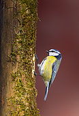 Blue tit (Cyanistes caeruleus) perched on the side of a tree, England
