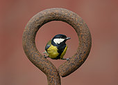 Great Tit (Parus major) perched inside a steel ring, England