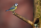Blue tit (Cyanistes caeruleus) perched on a branch, England