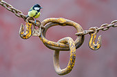 Great Tit (Parus major) perched on a rusty yellow chain, England