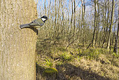Great Tit (Parus major) perched on a tree in a woodland, England