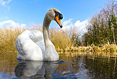 Mute swan (Cugnus olor) swiming in a river, England