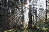 Rays of light, forest of Douglas-firs (Pseudotsuga menziesii), Parc Naturel Regional Livradois Forez, Regional Nature Park of Livradois Forez, Puy de Dome, Auvergne, France, Europe