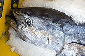 "Artisanal and selective fishing for bluefin tuna, locally called ""patudo"" (Thunnus thynnus). Boat Ana Carmen Dos, Los Cristianos. Tenerife. Sustainable fishing, Canary Islands. Atlantic Ocean, Macaronesia."