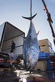 Artisanal and selective fishing for tuna, bluefin tuna (Thunnus thynnus). Arrival at the Port of Los Cristianos, Tenerife. Sustainable fishing, Canary Islands. Atlantic Ocean, Macaronesia.