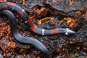 Boie's Ground Snake (Atractus badius) on ground, Belizon, French Guiana