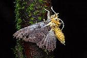 Parasitic Mushroom (Akanthomyces sp) on moth, Belizon, French Guiana