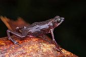 Cayenne stubfoot Toad (Atelopus flavescens), Belizon, French Guiana
