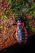 Assassin bug (Brontostoma basalis) nymph, Saut Maripa, French Guiana