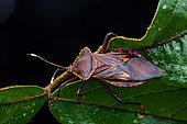 Leaf-footed Bug (Coreidae sp) on a leaf, Saut Maripa, French Guiana