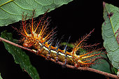 Automeris (Automeris egeus) caterpillar, Yiyi's Pripri, French Guiana