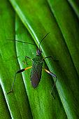Leaf-footed Bug (Coreidae sp) on a leaf, Montagne de Fer, French Guiana