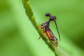 Ball-bearing Treehopper (Bocydium globulare) on a stem, Montagne de Fer, French Guiana