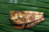Semi-lined Tree Frog (Boana semilineatus) on a leaf, Montagne de Fer, French Guiana