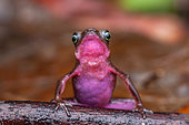 Cayenne stubfoot Toad (Atelopus flavescens), Montagne de fer, French Guiana