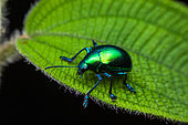 Leaf beetle (Chrysochus sp) on a leaf, Montagne de Fer, French Guiana