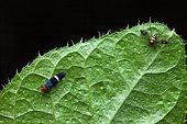Sharpshooter (Amblyscarta -Strictogonia - unifasciata) and dead Longlegged Fly (Condylostylus sp) on a leaf, Montagne de Fer, French Guiana