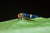 Sharpshooter (Amblyscarta -Strictogonia - unifasciata) on a leaf, Montagne de Fer, French Guiana