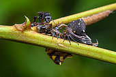 Treehopper (Anchistrotus sp) imago and nymphs on a stem with bee, Montagne des Singes, French Guiana