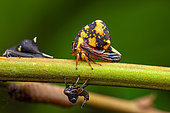 Treehopper (Anchistrotus sp) imago and nymphs on a stem, Montagne des Singes, French Guiana