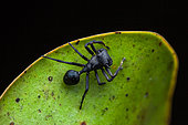 Ant-mimicking crab spider (Aphantochilus rogersi) on a leaf, Montagne des Singes, French Guiana