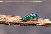 Turquoise Cuckoo wasp (Caenochrysis sp), Saramaca, French Guiana