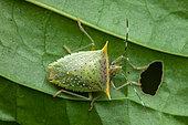 Tomato stink bug (Arvelius albopunctatus) on a leaf, Saramaca, Guyane Française