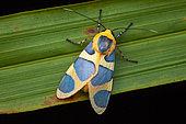 Emurena (Emurena fernandezi) on a leaf, Saramaca, French Guiana