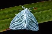Moth (Caviria sp) on a leaf, Saramaca, French Guiana